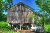 Old Barn and Cows