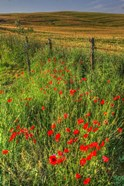 Tuscan Vertical Poppies and Fence