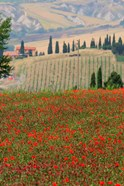 Tuscan Vertical Poppies