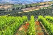 Tuscan Wine Rows