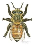 Worker Honey Bee