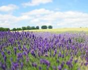 English Lavender Field 1