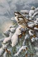 Chickadee In Spruce