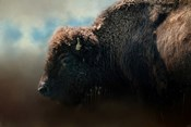 American Bison After The Storm