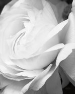 Black and White Petals II