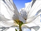White Poppy In The Sun