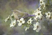 Orange Crowned Warbler On Dogwood