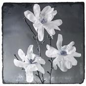 Blue Magnolia 2