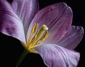 Peekaboo Tulip