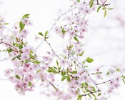 Spring Branches I