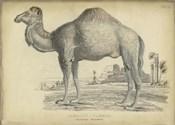 Camel Bactarnian