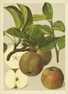 Russet Apples I