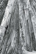 Redwoods Forest III BW