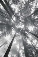 Fir Trees I BW