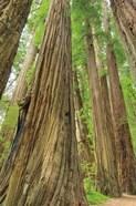 Redwoods Forest III