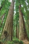 Redwoods Forest I