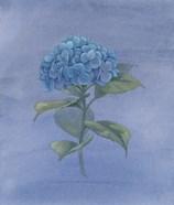 Blue Hydrangea IV