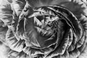 Ranunculus Abstract VI BW