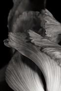 Iris Abstract I