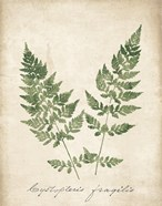 Vintage Ferns VII no Border