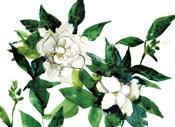 Bright Gardenias