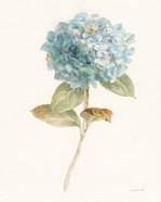 Garden Hydrangea