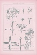Rose Quartz Phlox