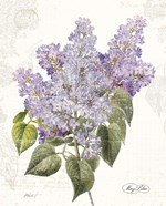 May Lilac on White