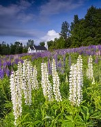 White Lupines At Sugar Hill