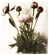 Floral Peonies White Soft No Darks