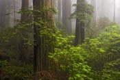 Redwoods Fog