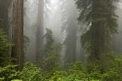 Redwoods NP Fog