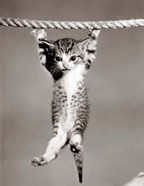1950s Little Kitten Hanging From Rope
