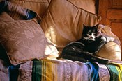 Tuxedo Cat Sitting On Sofa