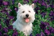 West Highland Terrier Sitting In Petunias