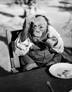 1930s Very Old Chimpanzee