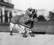 1930s Cocker Spaniel Wearing Glasses