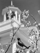 1950s Robin Perched On Blossoming