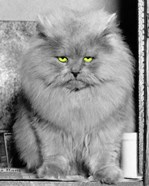 1940s Long Hair Blue Persian Cat With Facial Expression