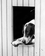 1930s Hunting Dog Pointer Looking Out Of His Doghouse