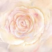 Blush Rose Closeup II