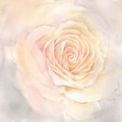 Blush Rose Closeup III