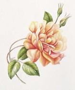 Peach Rose 11