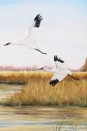 Whooping Cranes - C