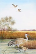 Sandhill Cranes - B