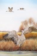 Sandhill Cranes - C