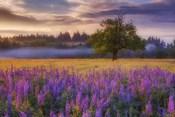 Lupine Sunrise