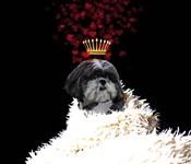 Royal Love Pup - Shi Tzu