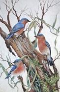 Bluebirds at Rest
