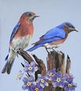 Eastern Bluebird Duo